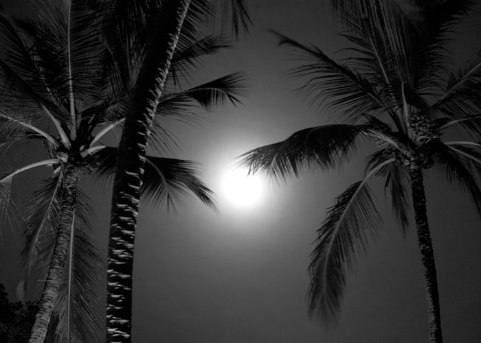 black-and-white-barbados-coconut-trees